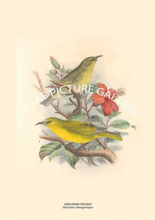 HIMATIONE WILSONI - Hawaiian Honeycreeper